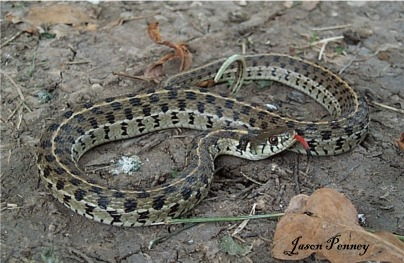 Texas Garter Snake All About Snake Pictures