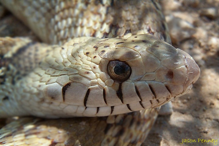 Snakes of Hudspeth County, Texas