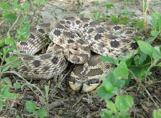 Mexican Hognose Snake, Hognose Snake