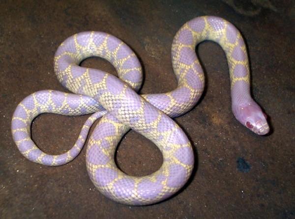 Kingsnakecom The Kingsnake And Milk Snake Page Desert Kingsnake - California king snake morphs