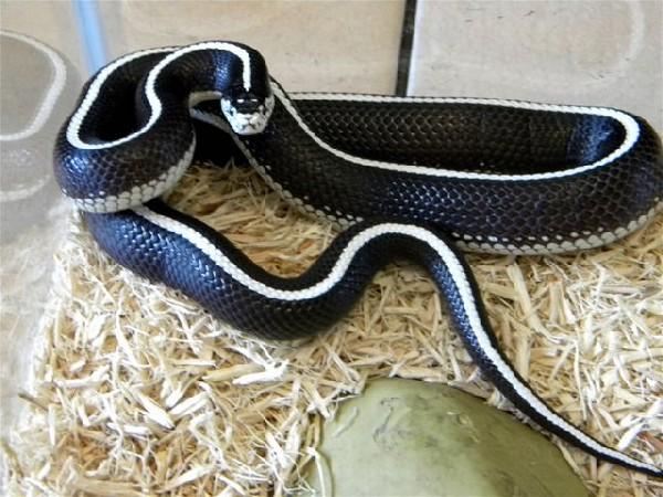 Kingsnakecom The Kingsnake And Milk Snake Page - California king snake morphs