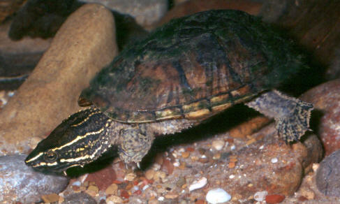 Habitat : Any body of water is suitable habitat for these turtles ...