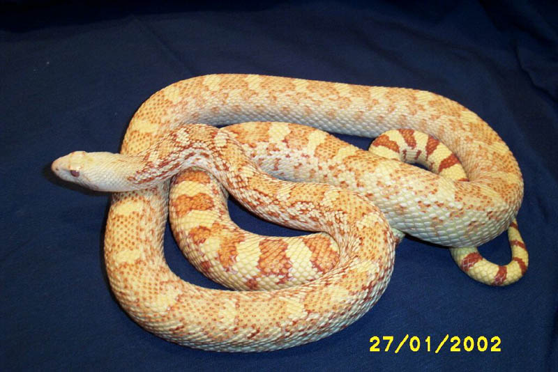 The Pituophis Page - The Online Reference Guide to Snakes ...