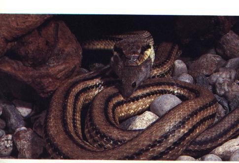 Elaphe quatuorlineata for Cervone serpente
