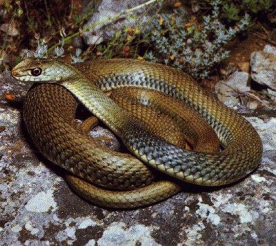 Змея крыма фото с сайта http www kingsnake com