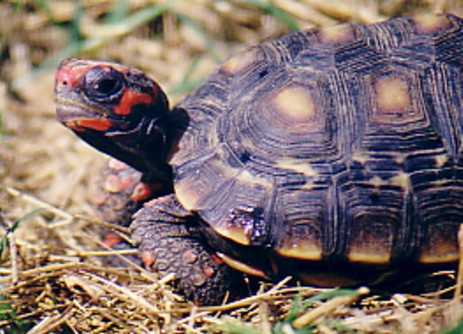 The Red-Footed Tortoise (Geochelone carbonaria), a South