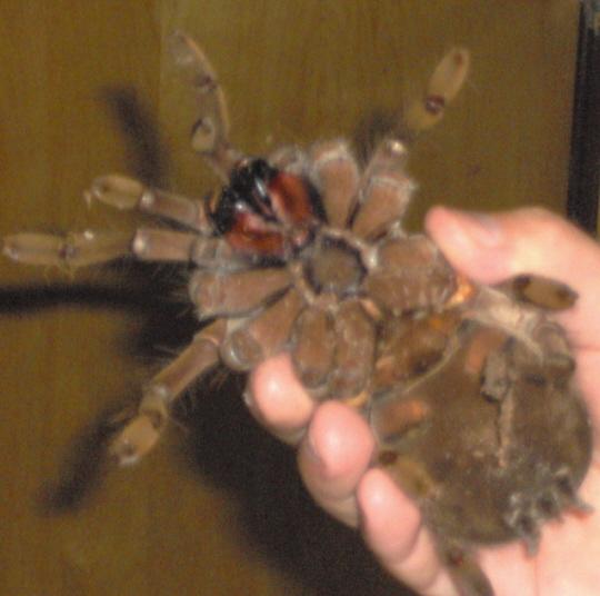 اكبر العناكب حجما ويسمى عنكبوت أكل الطير Tarantula2
