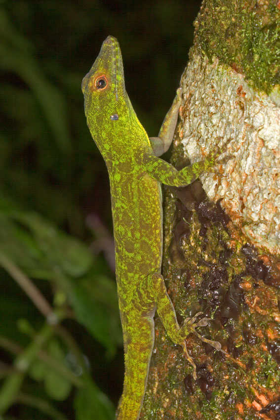 Adult Cuban Knight Anoles For Sale - Underground Reptiles |Adult Anole Hendersons