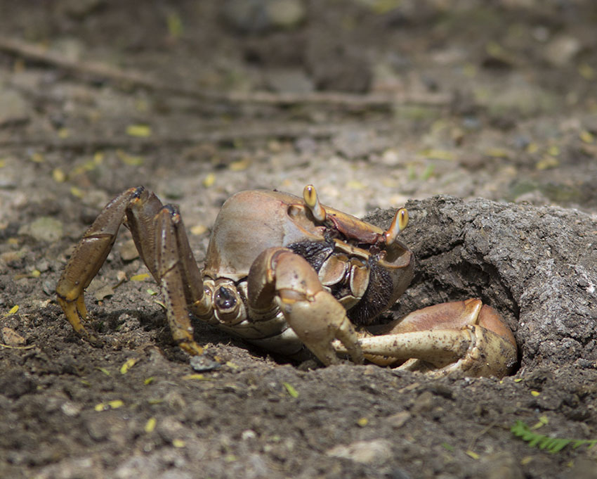 Puerto Rico Land Crabs http://www.kingsnake.com/westindian/metazoa6 ...